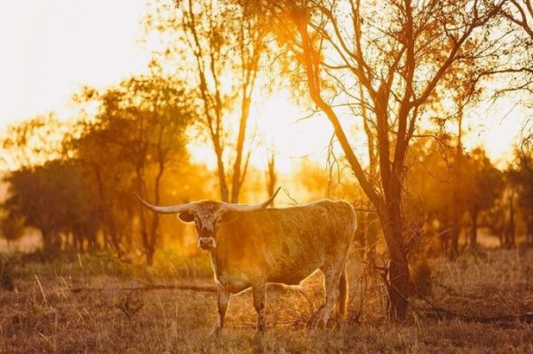 Meet JR - A Texas Longhorn you wouldn't want to mess with